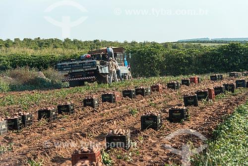 Trabalhadores carregando caminhão com caixas de batata doce  - Garça - São Paulo (SP) - Brasil