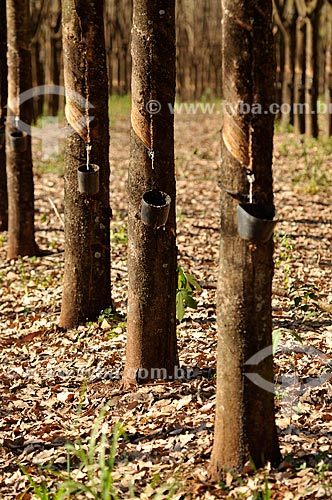 Coleta de látex em seringueira (Hevea brasiliensis)  - Planalto - São Paulo (SP) - Brasil