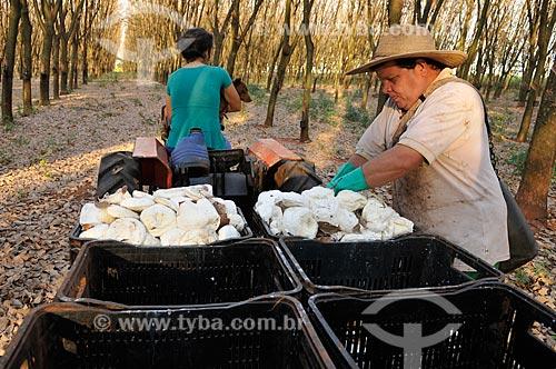 Seringueiros coletando borracha natural  - União Paulista - São Paulo (SP) - Brasil