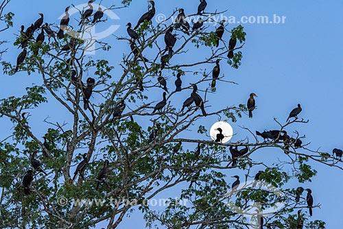 Bando de biguás (Phalacrocorax brasilianus) próximo ao Rio Cuiabá ao anoitecer  - Poconé - Mato Grosso (MT) - Brasil