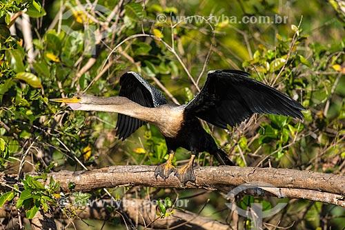 Biguatinga (Anhinga anhinga) - também conhecido como carará, anhinga, meuá, muiá ou mergulhão-serpente  - Mato Grosso (MT) - Brasil