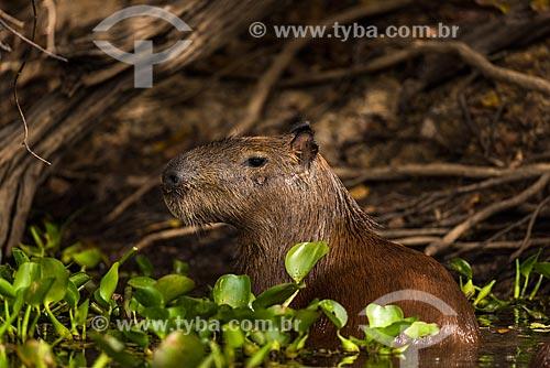 Detalhe de capivara (Hydrochoerus hydrochaeris)  - Poconé - Mato Grosso (MT) - Brasil