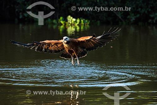 Gavião Belo (Busarellus nigricollis) - também conhecido como gavião-lavadeira ou gavião-balaio - sobrevoando rio no Pantanal  - Mato Grosso (MT) - Brasil
