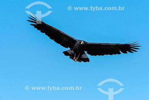 Gavião-preto (Urubitinga urubitinga) - também conhecido como urubutinga - no Pantanal  - Mato Grosso (MT) - Brasil