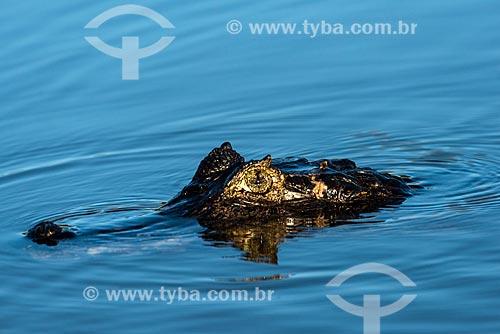 Detalhe do Jacaré-do-pantanal (caiman crocodilus yacare) - também conhecido como Jacaré-do-paraguai - no Pantanal  - Poconé - Mato Grosso (MT) - Brasil