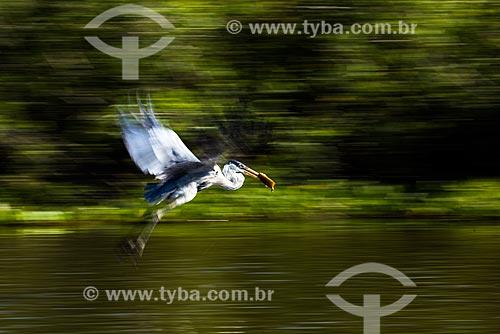 Garça-moura (Ardea cocoi) - também conhecida como socó-de-penacho, baguari, socó-grande - no Pantanal  - Poconé - Mato Grosso (MT) - Brasil