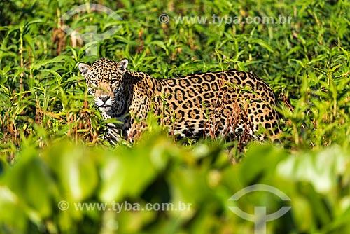 Onça pintada (Panthera onca) no Pantanal  - Mato Grosso (MT) - Brasil