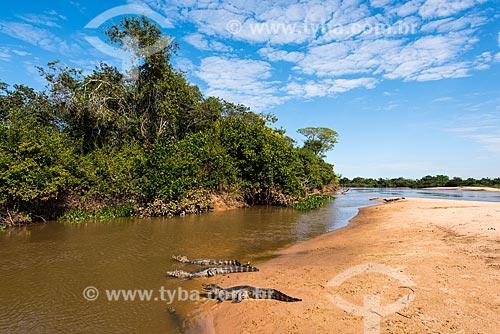 Jacarés-do-pantanal (caiman crocodilus yacare) - também conhecido como Jacaré-do-paraguai - na orla do Rio Três Irmãos - Parque Estadual Encontro das Águas  - Poconé - Mato Grosso (MT) - Brasil