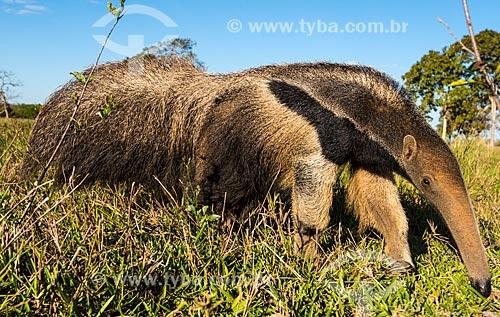 Tamanduá-bandeira (Myrmecophaga tridactyla) em fazenda no Pantanal  - Poconé - Mato Grosso (MT) - Brasil