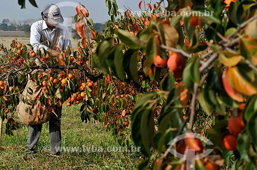 Trabalhador rural colhendo caqui - Rama Forte  - Jales - São Paulo (SP) - Brasil