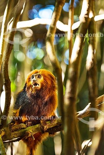 Detalhe de mico-leão-dourado (Leontopithecus rosalia)  - Silva Jardim - Rio de Janeiro (RJ) - Brasil