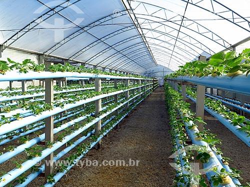 Estufa com plantação hidropônica de morango  - Caxias do Sul - Rio Grande do Sul (RS) - Brasil
