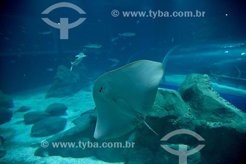 Arraia no AquaRio - aquário marinho da cidade do Rio de Janeiro  - Rio de Janeiro - Rio de Janeiro (RJ) - Brasil