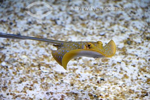 Detalhe de Arraia-Uge-Manchas-Azuis (Taeniura lymma) no AquaRio - aquário marinho da cidade do Rio de Janeiro  - Rio de Janeiro - Rio de Janeiro (RJ) - Brasil