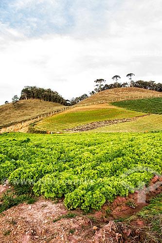 Plantação de alface  - Rancho Queimado - Santa Catarina (SC) - Brasil