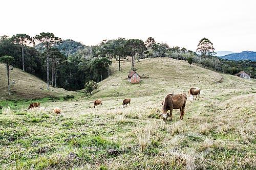 Gado pastando  - Rancho Queimado - Santa Catarina (SC) - Brasil