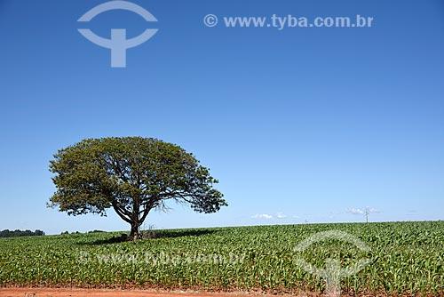 Plantação de milho  - Planaltina - Goiás (GO) - Brasil