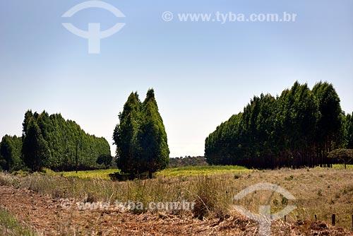 Plantação de eucaliptos  - Planaltina - Goiás (GO) - Brasil