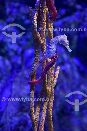 Detalhe de Cavalo-marinho no AquaRio - aquário marinho da cidade do Rio de Janeiro  - Rio de Janeiro - Rio de Janeiro (RJ) - Brasil