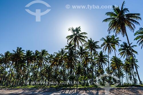 Vista de coqueiros durante o pôr do sol na orla da Praia de Garapuá  - Cairu - Bahia (BA) - Brasil