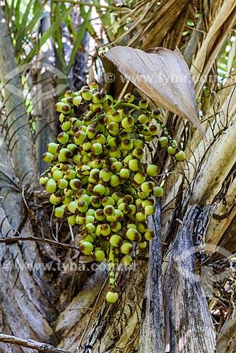 Detalhe de Dendezeiro (Elaeis guineensis) na Vila de Velha Boipeba  - Cairu - Bahia (BA) - Brasil