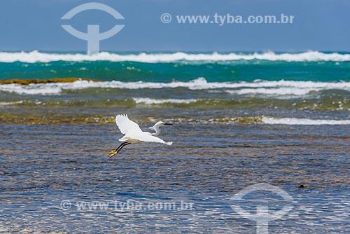 Garça-branca-grande (Ardea alba) voando na orla da Praia da Bombaça  - Maraú - Bahia (BA) - Brasil