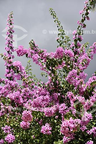 Flores de Bougainville no Parque Nacional da Chapada dos Veadeiros  - Alto Paraíso de Goiás - Goiás (GO) - Brasil
