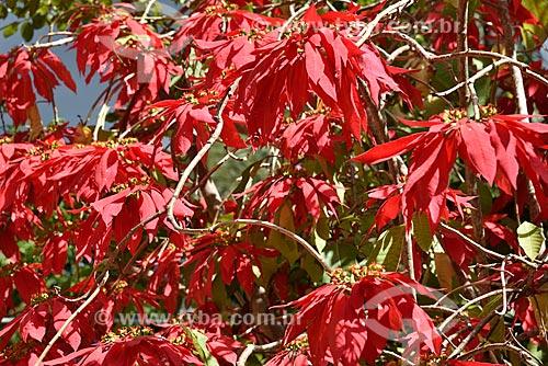 Poinsétia (Euphorbia pulcherrima)  - Alto Paraíso de Goiás - Goiás (GO) - Brasil