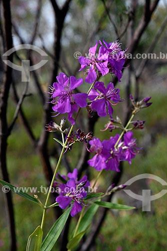 Flores de Quaresmeira (Tibouchina granulosa) no Parque Nacional da Chapada dos Veadeiros  - Alto Paraíso de Goiás - Goiás (GO) - Brasil