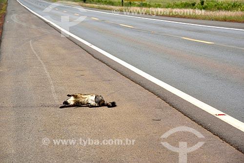 Gambá atropelado no acostamento da Rodovia GO-118  - Planaltina - Goiás (GO) - Brasil
