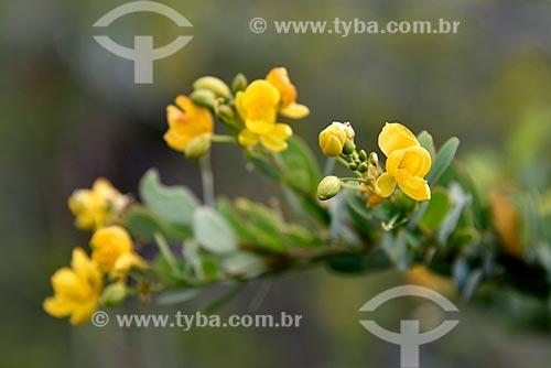 Flor (Chamaecrista sp) - Parque Nacional da Chapada dos Veadeiros  - Alto Paraíso de Goiás - Goiás (GO) - Brasil