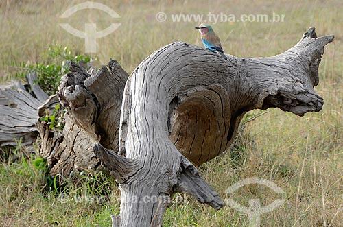 Rolieiro-de-peito-lilás (Coracias caudata) na Reserva Nacional Masai Mara  - Província do Vale do Rift - Quênia
