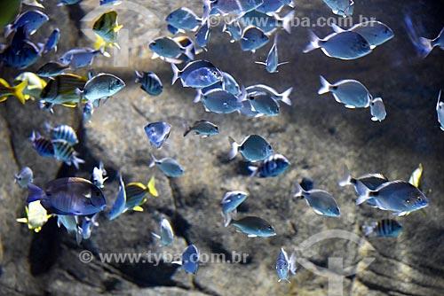 Detalhe de cardume no AquaRio - aquário marinho da cidade do Rio de Janeiro  - Rio de Janeiro - Rio de Janeiro (RJ) - Brasil