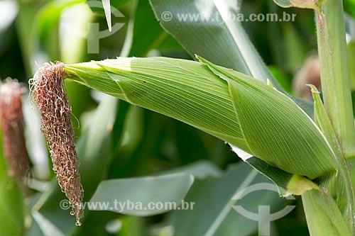 Detalhe de plantação de milho na Fazenda Serra Azul  - Carmo de Minas - Minas Gerais (MG) - Brasil