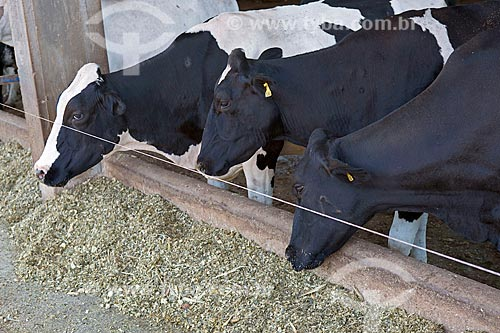 Gados Holstein-Frísia - também conhecido como Gado Holandês - comendo no cocho  - Carmo de Minas - Minas Gerais (MG) - Brasil