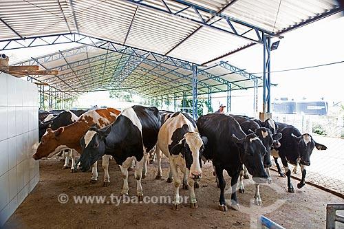 Gado Holstein-Frísia - também conhecido como Gado Holandês - criado no sistema de Compost barn  - Carmo de Minas - Minas Gerais (MG) - Brasil