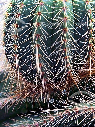 Detalhe de gota de orvalho em cacto no cactário do Jardim Botânico do Rio de Janeiro  - Rio de Janeiro - Rio de Janeiro (RJ) - Brasil