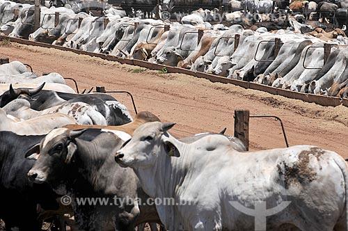 Vista de gado criado no sistema de confinamento  - Barretos - São Paulo (SP) - Brasil