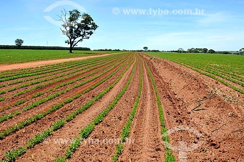 Vista geral de plantação de amendoim (Arachis hypogaea)  - Barretos - São Paulo (SP) - Brasil