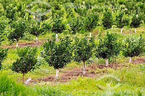 Detalhe de plantação de laranja  - Bebedouro - São Paulo (SP) - Brasil