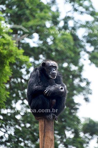 Chimpanzé-comum (Pan troglodytes) no topo de um poste de madeira no Jardim Zoológico do Rio de Janeiro  - Rio de Janeiro - Rio de Janeiro (RJ) - Brasil