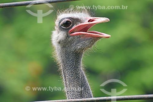 Detalhe de avestruz (Struthio camelus) no Jardim Zoológico do Rio de Janeiro  - Rio de Janeiro - Rio de Janeiro (RJ) - Brasil