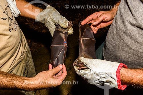 Detalhe de asas de morcegos (Chiroderma doriae) capturados por pesquisadores na Reserva Ecológica de Guapiaçu  - Cachoeiras de Macacu - Rio de Janeiro (RJ) - Brasil