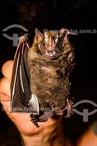 Detalhe de morcego (Chiroderma doriae) capturado por pesquisadores na Reserva Ecológica de Guapiaçu  - Cachoeiras de Macacu - Rio de Janeiro (RJ) - Brasil