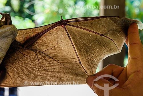 Detalhe de da asa de morcego (Chiroderma doriae) capturado por pesquisadores na Reserva Ecológica de Guapiaçu  - Cachoeiras de Macacu - Rio de Janeiro (RJ) - Brasil