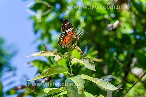 Detalhe de borboleta Anartia Amathea Roeselia na Reserva Ecológica de Guapiaçu  - Cachoeiras de Macacu - Rio de Janeiro (RJ) - Brasil