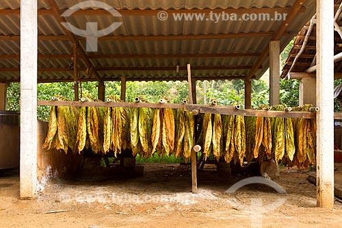 Detalhe de tabaco secando em fazenda  - Guarani - Minas Gerais (MG) - Brasil
