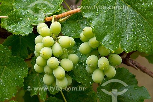 Detalhe de cacho de uva  - Guarani - Minas Gerais (MG) - Brasil