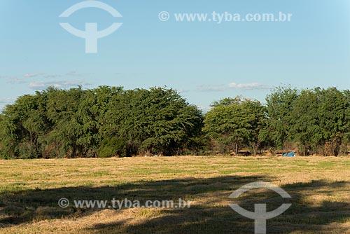 Detalhe de algaroba (Prosopis juliflora) na caatinga  - Cabrobó - Pernambuco (PE) - Brasil