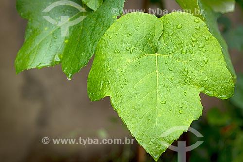 Detalhe de folhas de parreira (Vitis vinifera)  - Guarani - Minas Gerais (MG) - Brasil